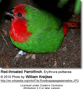 Red-throated Parrotfinch, Erythrura psittacea