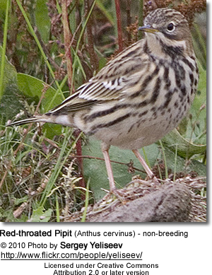 Red-throated Pipit (Anthus cervinus) - non-breeding
