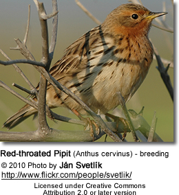 Red-throated Pipit (Anthus cervinus) - breeding plumage