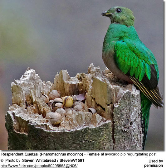 Resplendent Quetzal (Pharomachrus mocinno) - Female at avocado pip regurgitating post