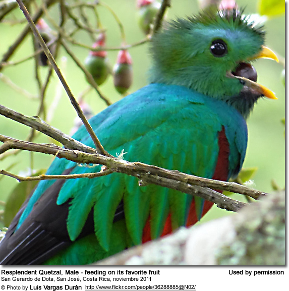Resplendent Quetzal, Male - feeding on its favorite fruit