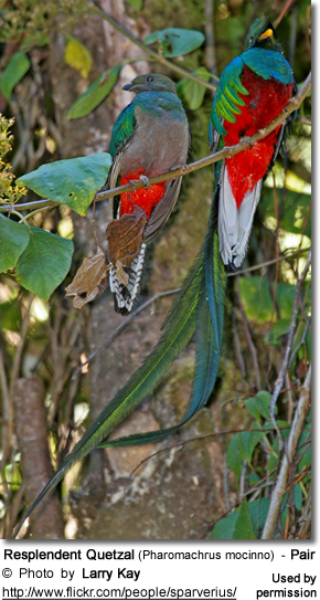 Resplendent Quetzals  The Most Beautiful Birds Of All