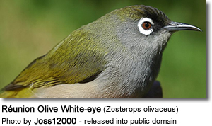 Réunion Olive White-eye (Zosterops olivaceus)