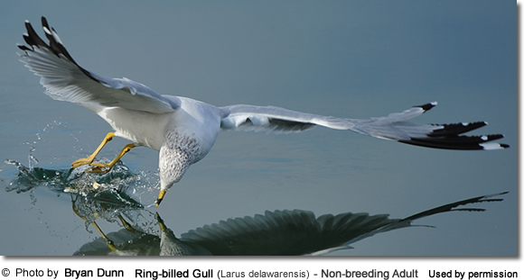 Ring-billed Gull (Larus delawarensis) - Non-breeding adult - note the streaking on the head