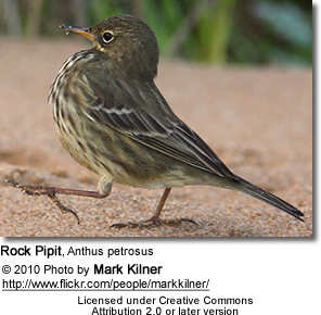 Rock Pipit, Anthus petrosus