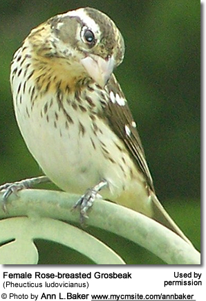 Female Rose-breasted Grosbeak (Pheucticus ludovicianus)