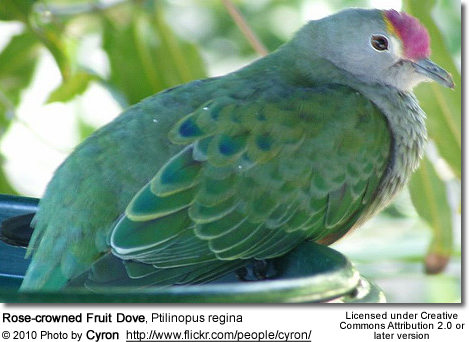 Rose-crowned Fruit Dove, Ptilinopus regina