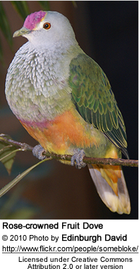 Rose-crowned Fruit Dove, Ptilinopus regina, also known as Pink-capped Fruit Dove or Swainson's Fruit Dove