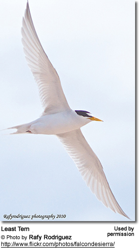Royal Tern (Thalasseus maximus))