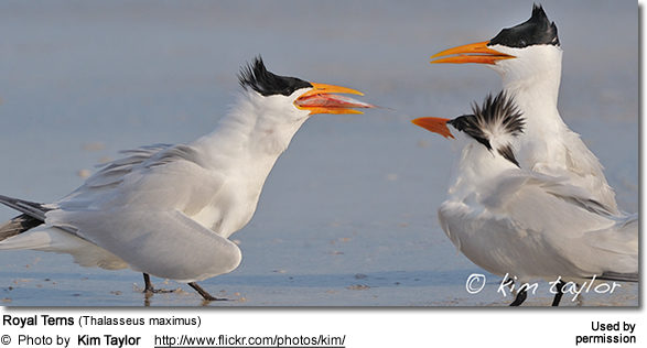 Royal Terns (Thalasseus maximus)