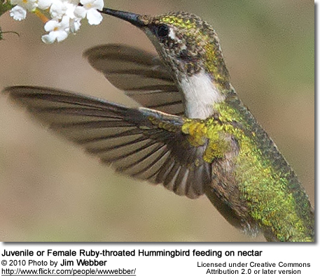 Juvenile or Female Ruby-throated Hummingbird feeding on nectar
