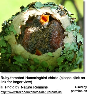 Ruby-throated Hummer Chicks