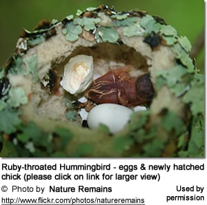 Ruby-throated Hummingbird nest with eggs and newly hatched chick