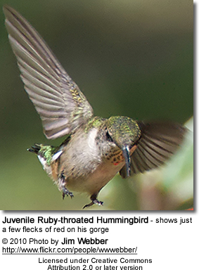 Juvenile Ruby-throated Hummingbird - shows just a few flecks of red on his gorge