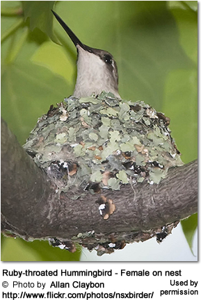 Ruby-throated Hummingbird - Female on nest