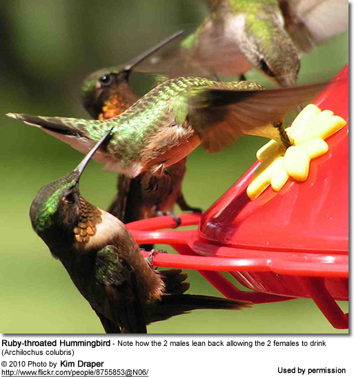 Female Ruby-throated Hummingbird - 2 Males leaning back allowing the 2 females to drink