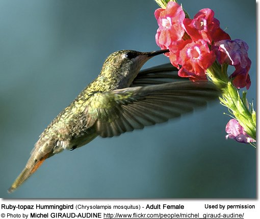 Ruby-topaz Hummingbird (Chrysolampis mosquitus) - Adult Female