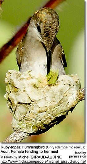 Ruby-topaz Hummingbird (Chrysolampis mosquitus) Adult Female tending to her nest