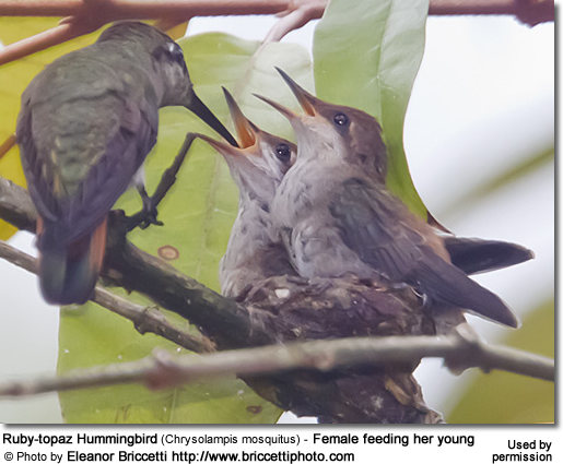 Ruby-topaz Hummingbird (Chrysolampis mosquitus) - Female feeding her young