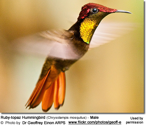 Ruby-topaz Hummingbird (Chrysolampis mosquitus) - Male