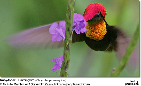 Ruby-topaz Hummingbirds (Chrysolampis mosquitus)