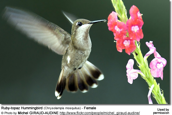 Ruby-topaz Hummingbird (Chrysolampis mosquitus) - Female