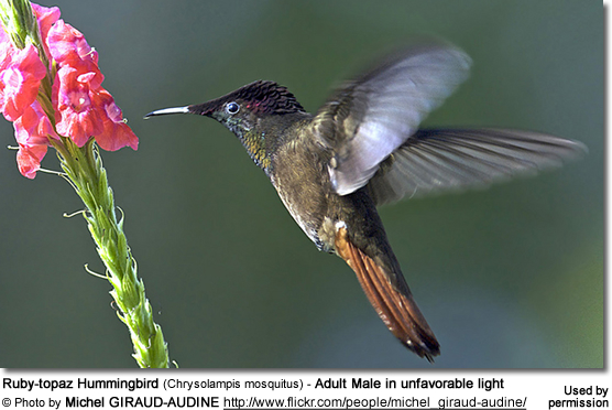 Ruby-topaz Hummingbird (Chrysolampis mosquitus) - Adult Male in unfavorable light