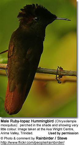 Male Ruby-topaz Hummingbird (Chrysolampis mosquitus): perched in the shade and showing very little colour. Image taken at the Asa Wright Centre, Arima Valley, Trinidad.