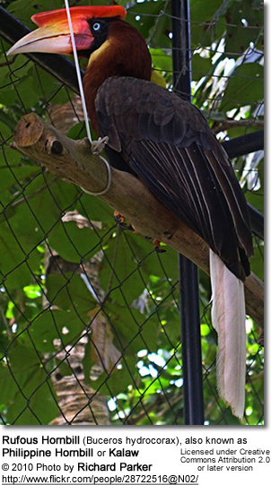 Rufous Hornbill (Buceros hydrocorax), also known as Philippine Hornbill or Kalaw