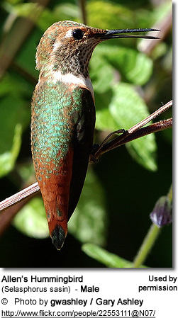Rufous Hummingbird (Selasphorus rufus) - Male