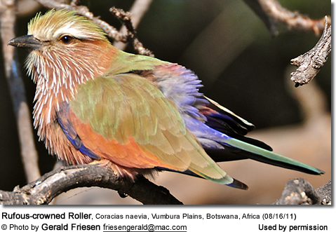 Rufous-crowned Roller, Coracias naevia (formerly Purple Roller) Vumbura Plains, Botswana,