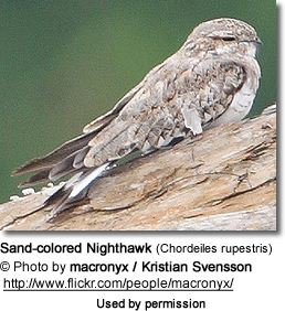 Sand-colored Nighthawk (Chordeiles rupestris)