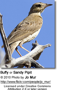 Buffy or Sandy Pipit