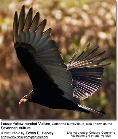 Lesser Yellow-headed Vulture, Cathartes burrovianus, also known as the Savannah Vulture