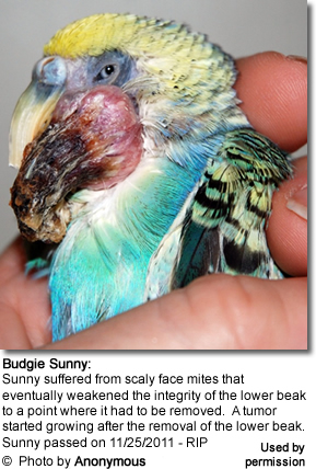 Budgie Sounny suffered from scaly mites that eventually compromised the integrity of the lower beak, which had to be removed. A tumor started growing shortly after the removal of the beak