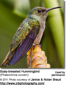 Scaly-breasted Hummingbird (Phaeochroa cuvierii)