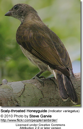 Scaly-throated Honeyguide (Indicator variegatus)