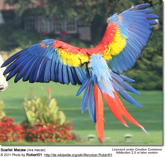 Scarlet Macaws aka Red & Yellow Macaws as Pets | Beauty of Birds