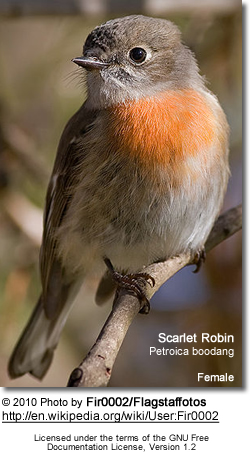 Pacific Robin - Female