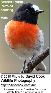 Male Pacific Robin