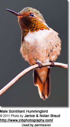 Male Scintillant Hummingbird (Selasphorus scintilla)