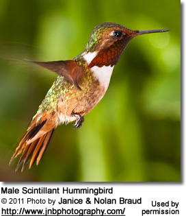 Male Scintillant Hummingbird