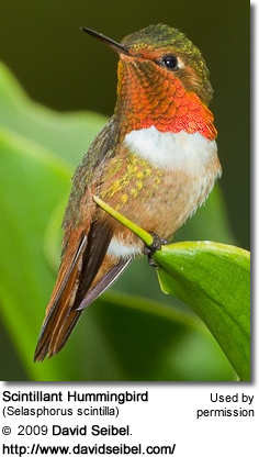 Male Scintallant Hummingbird