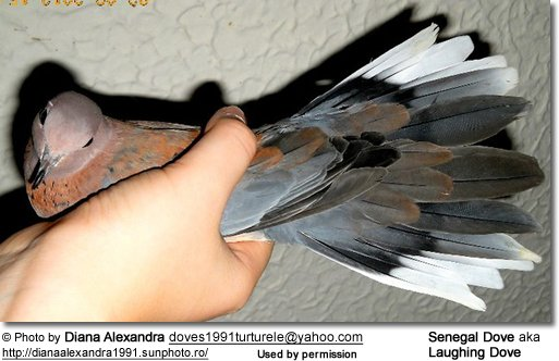 Tail Feathers of the Senegal Dove