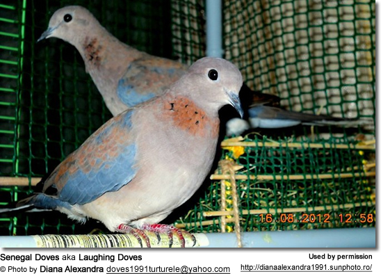 Senegal Doves aka Laughing Doves