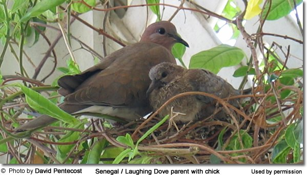 Senegal dove with chicks