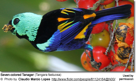 Seven-colored Tanagers (Tangara fastuosa)