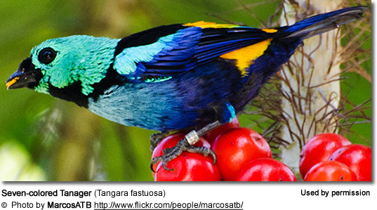 Seven-colored Tanager (Tangara fastuosa)