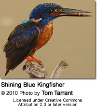 Shining Blue Kingfisher (Alcedo quadribrachys)