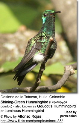 Shining-Green Hummingbird (Lepidopyga goudoti), Goudot's or Luminous Hummingbird